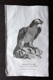 Shaw 1809 Antique Bird Print. Bearded Vulture